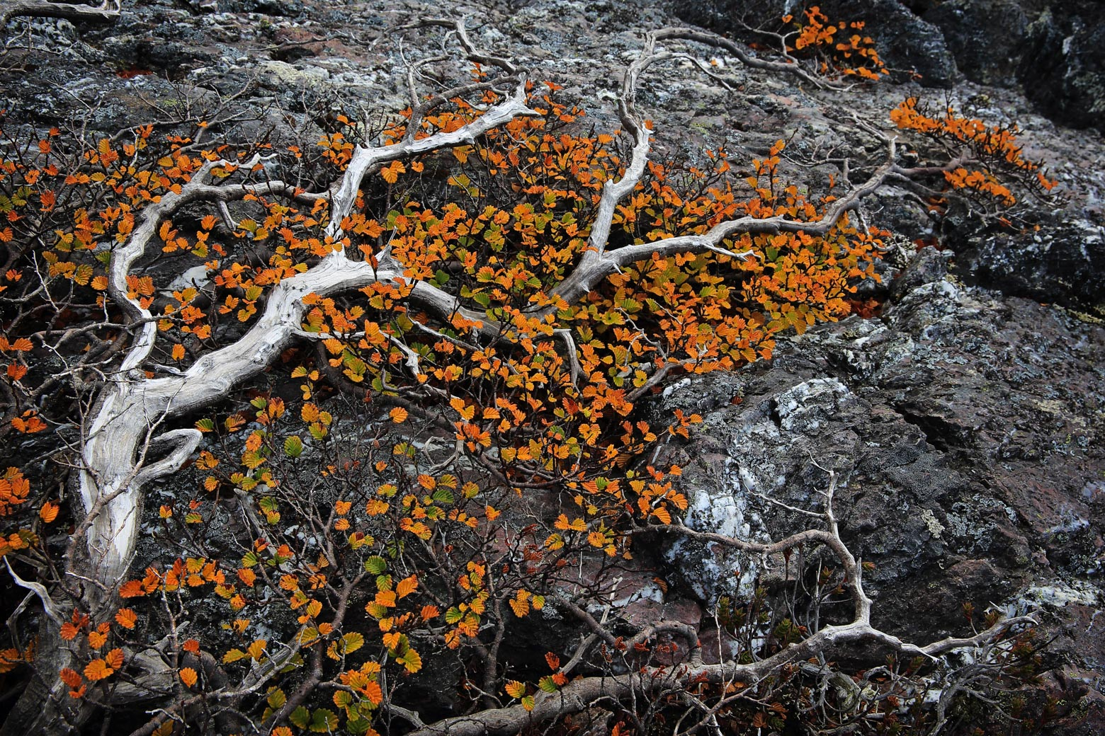 Autumn fagus in Mt Field National Park