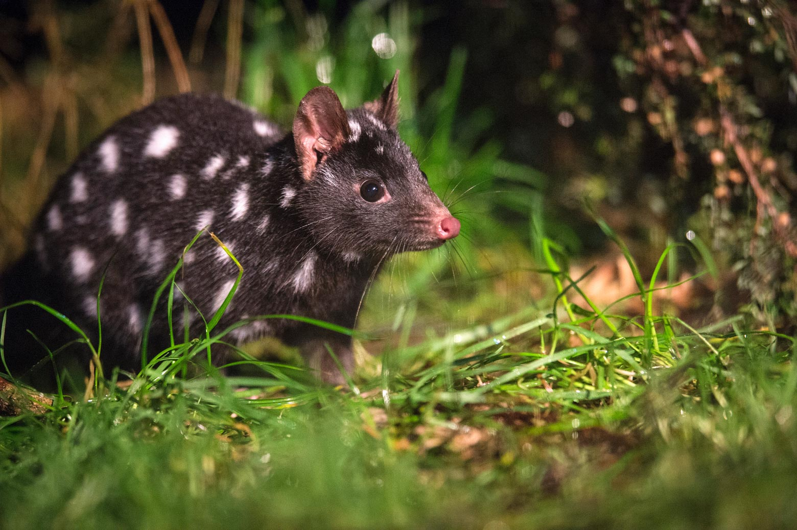Spotted tail quoll on yourLap of Tasmania road trip