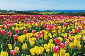 Table Cape Tulip Farm on your Lap of Tasmania road trip