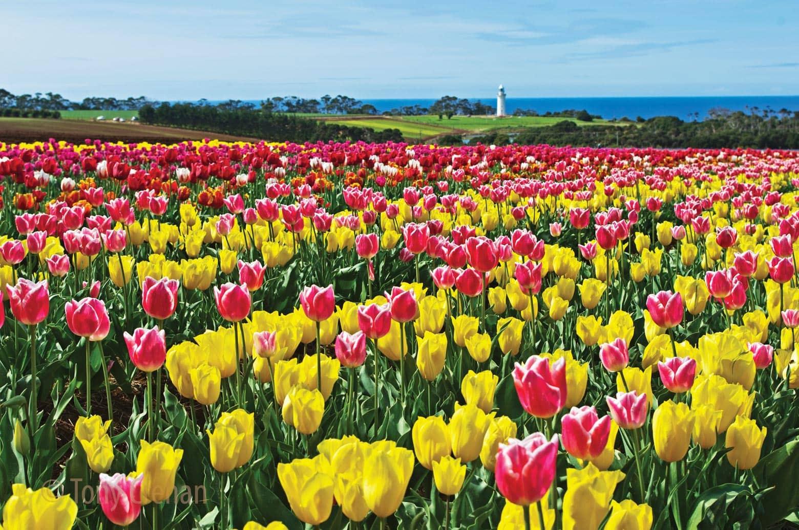 Table Cape Tulip Farm on your Lap of Tasmania road trip