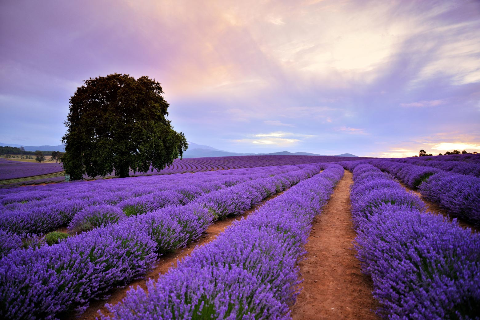 See the colours at Bridestowe Lavender Estate on your Lap of Tasmania road trip