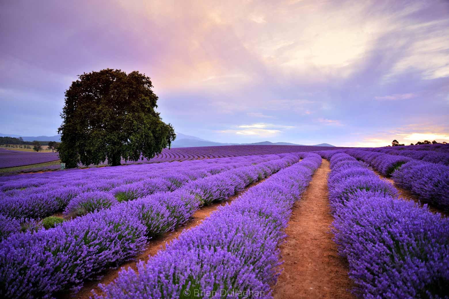 Purple fields of lavender at Bridestowe Lavender Estate in North East Tasmania on your Lap of Tasmania Road Trip -