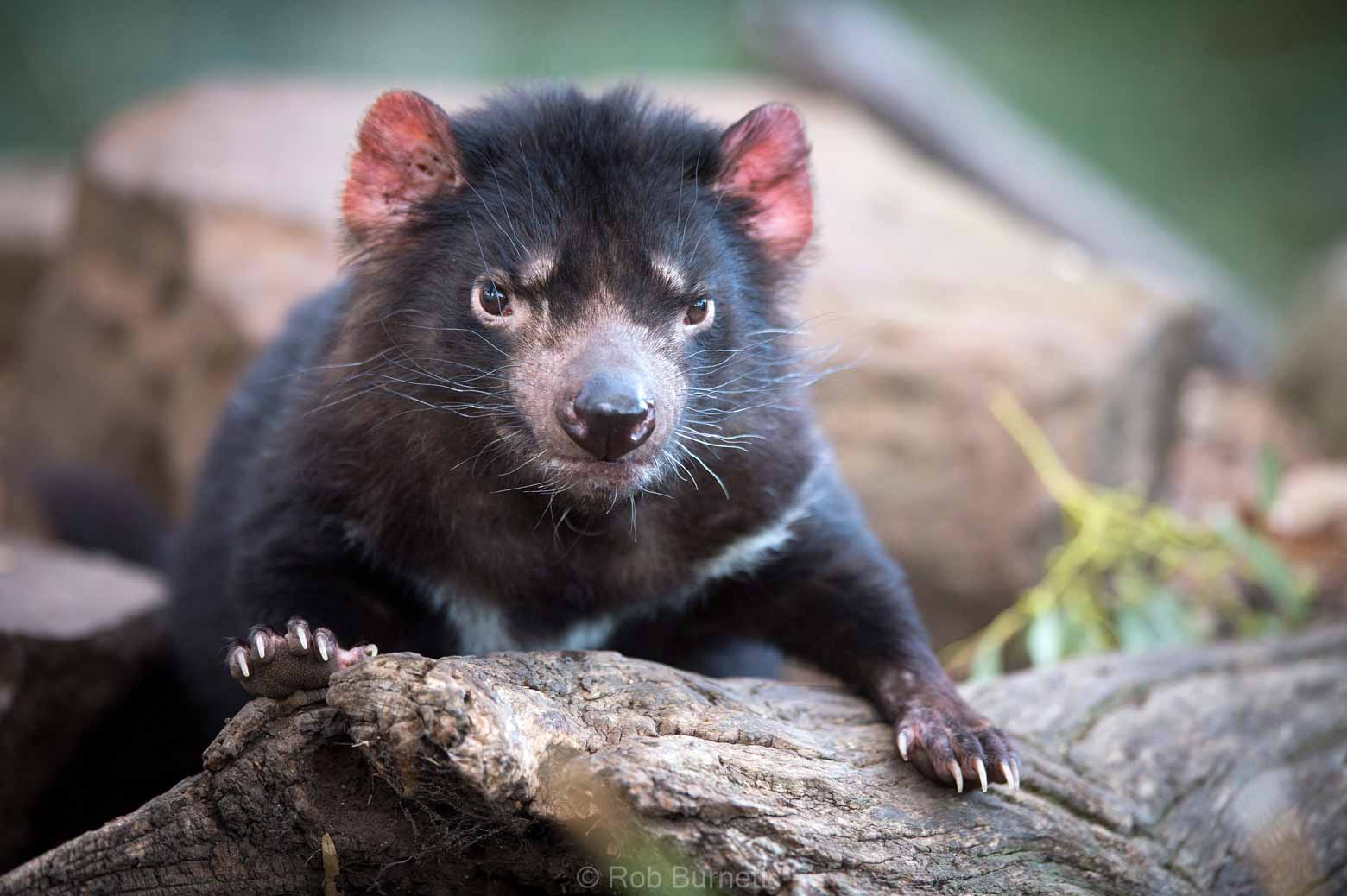 See cute Tasmanian devil on your Lap of Tasmania Road Trip