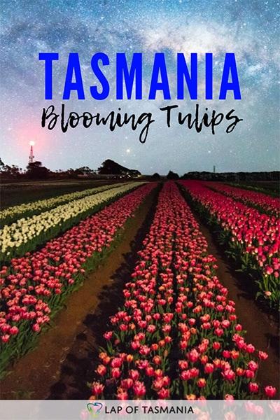 Table Cape Tulip Farm