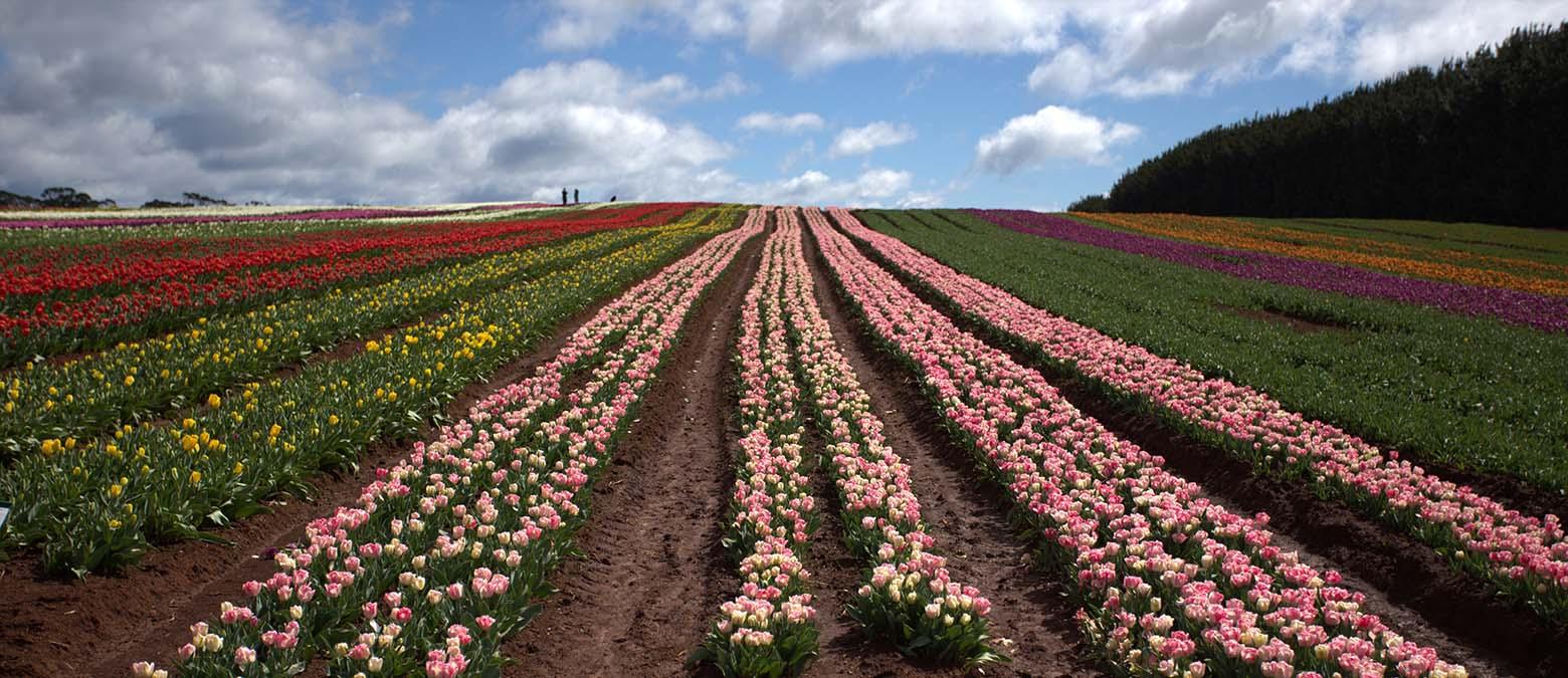 Rows of colour at Table Cape Tulip Farm Tasmania