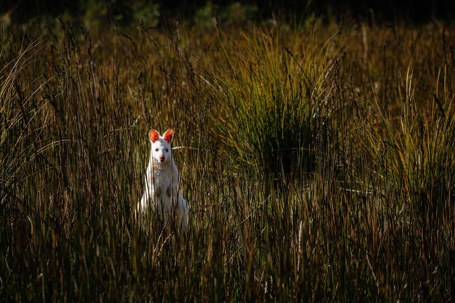 See rare white wallabies on Bruny Island Tours from Hobart