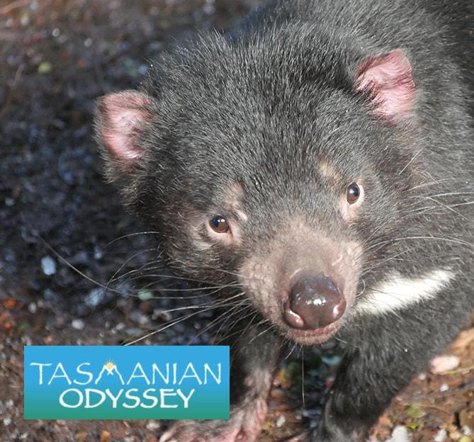 Tasmanian Odyssey