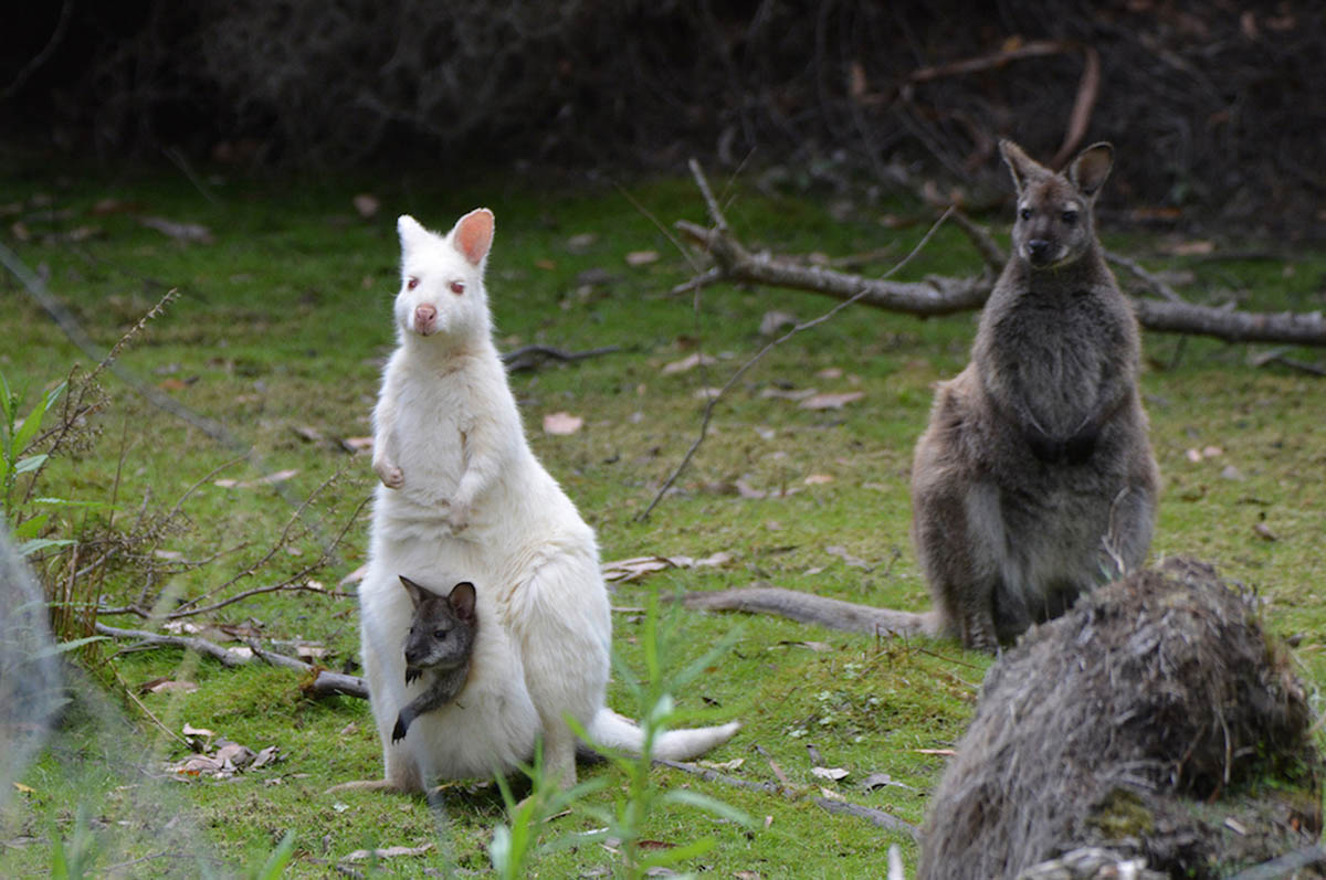 Spot a white wallaby while exploring Bruny | Photo: Tassie Tours