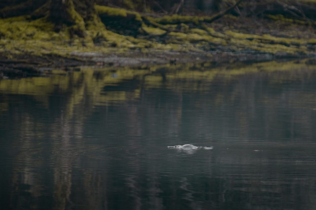 Platypus in Tasmania - Lake Chisholm