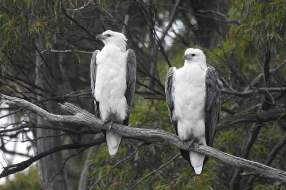 Leven River Cruises - White bellied sea eagles